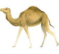 Dromedary image