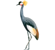 Black Crowned Crane image
