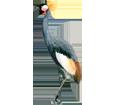 Black Crowned Crane image
