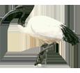 African Sacred Ibis image