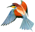 Bee-eater image